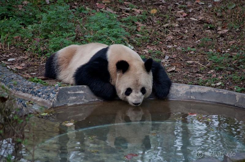 Panda_looking_reflection_Chengdu_Sichuan_China.jpg