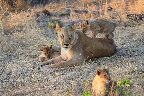 Lion Cubs And Mom Mara Kenya 2017
