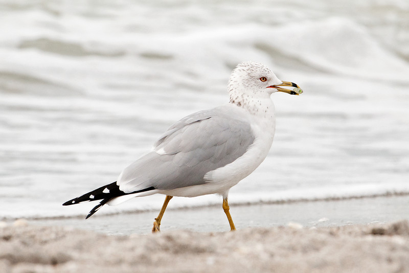 Gull - Ring-billed - with food - Ding Darling NWR - Sanibel Island, FL