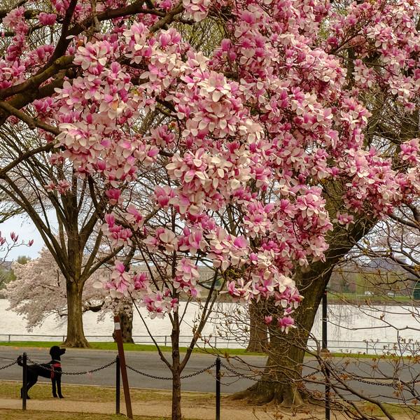 Cherry Blossoms 2018-3.jpg