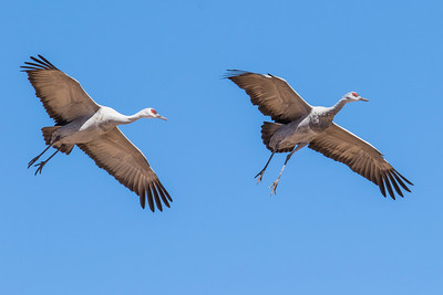Arizona Sandhill Cranes & Birds