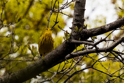 2020 05 23b: Yellow Bird, Tree at Home