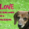 Dachshund Quotes Love is Being Owned by a Dachshund