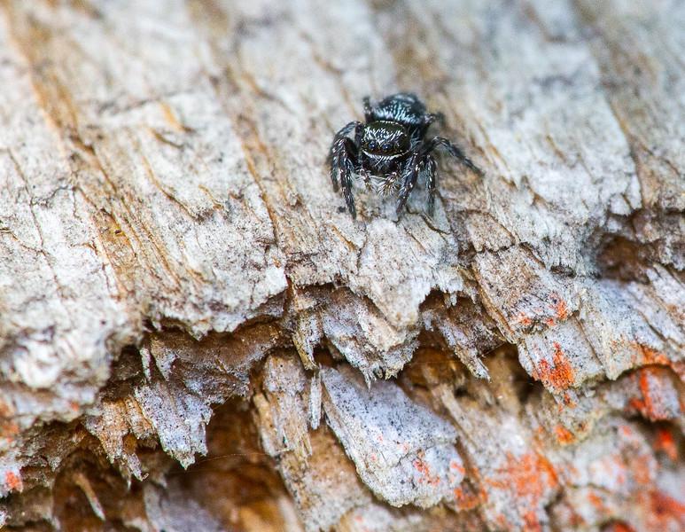 jumping spider Fringed Gentian Bog Sax-Zim Bog MN  IMG_0676.jpg
