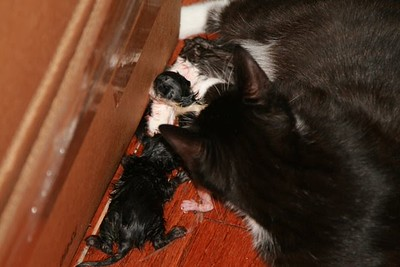 Linnet's kittens 2007