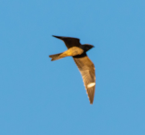 Search for the Common Night Hawk