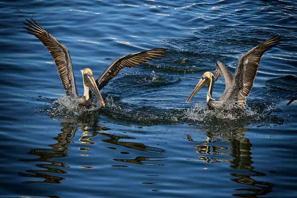 Galveston Channel Birds