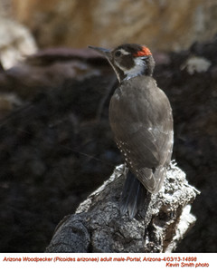 ArizonaWoodpeckerM14898.jpg