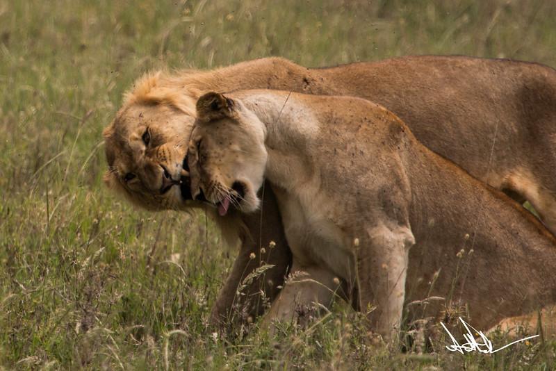 Lions Serengeti - S-8.jpg