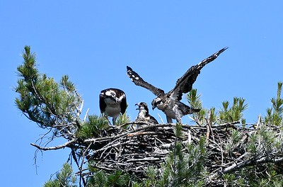 Osprey and Loon