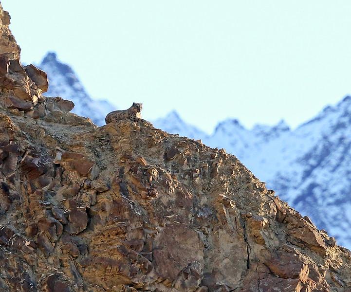 lone snow leopard.jpg