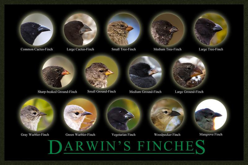 Darwin's Finches Poster, Galapagos, Ecuador (11-2011).jpg