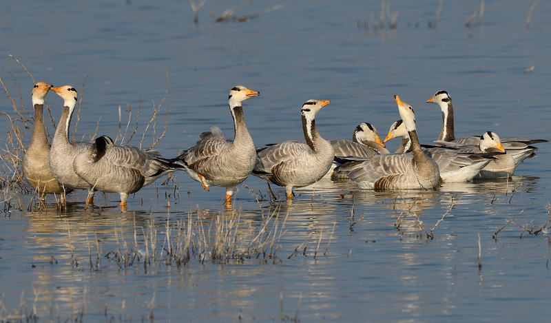 Bar-headed-geese-magadi.jpg