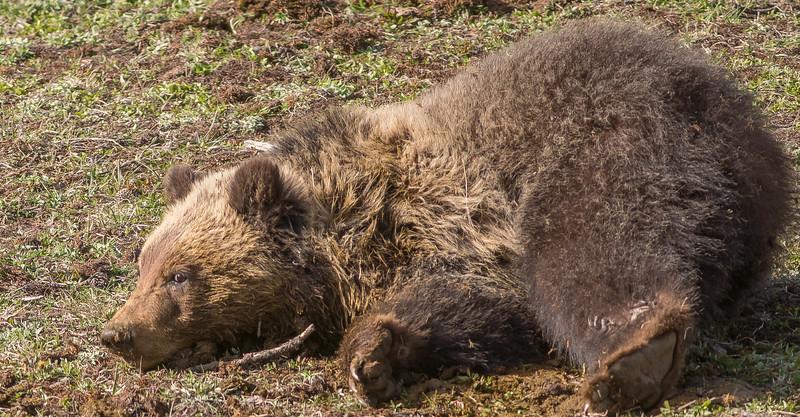 Grizzly sow Yellowstone National Park WY DSC06566.jpg