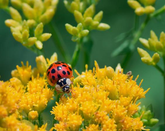 Grazing Ladybird