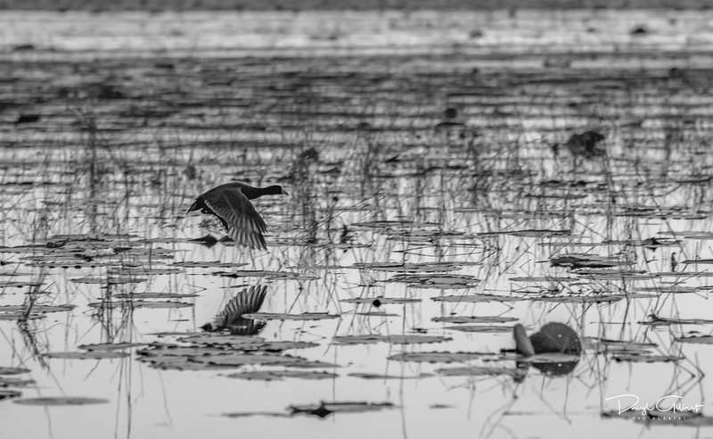 American Coot in B&W