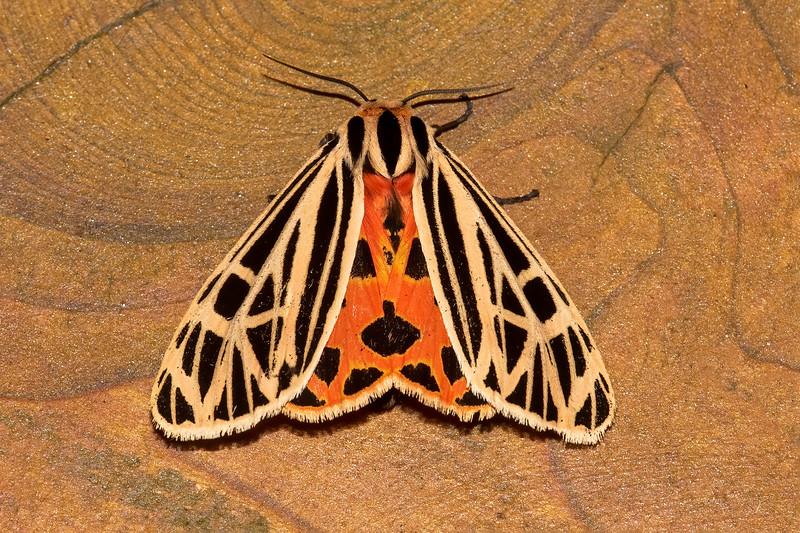 Tiger Moth-Virgin-(Grammia virgo)-Dunning Lake-Itasca County, MN