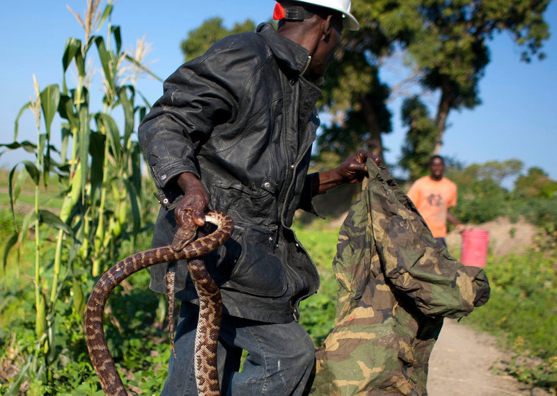 . In this Jan. 22, 2013 photo, snake handler Saintilus Resilus carries a snake he just caught in the wild to use in his street performances, as he hunts for serpents in the countryside of L\'Estere, in Haiti\'s Artibonite state. It\'s the serpents that help him eat and pay rent, in addition to his work for a neighborhood herbologist. And it\'s the snakes for which he\'s most famous. (AP Photo/Dieu Nalio Chery)