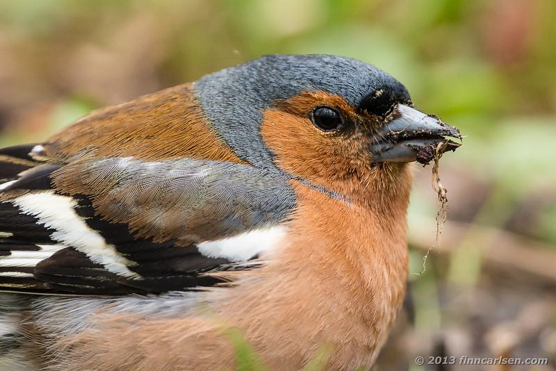 Bogfinke (Chaffinch - Fringilla coelebs)