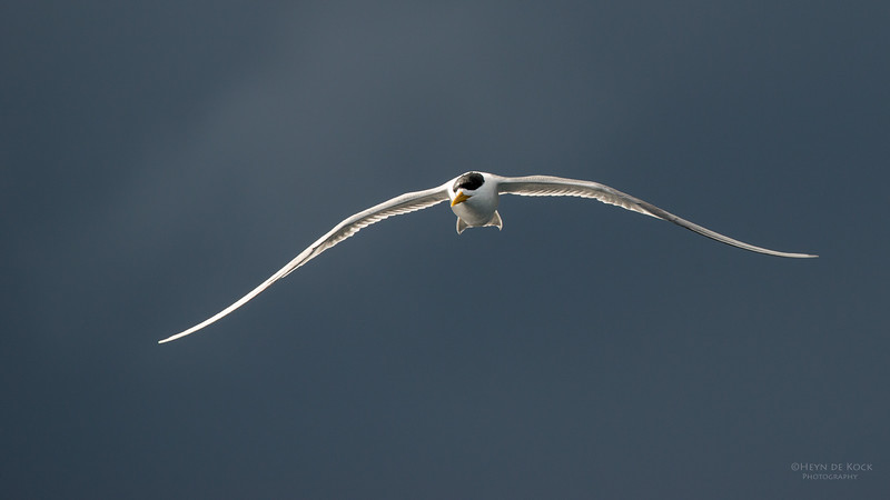 Crested Tern, Wollongong Pelagic, NSW, Aus, Aug 2014-1.jpg
