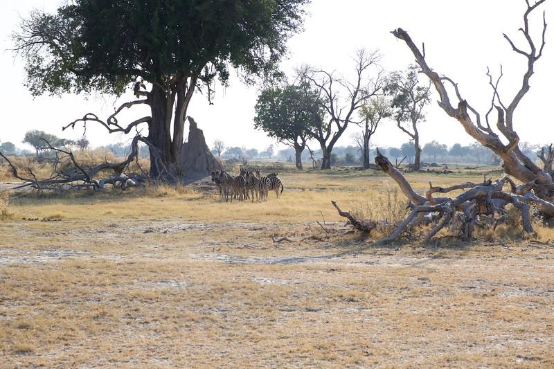 Zebras, Shinde camp, Botswana