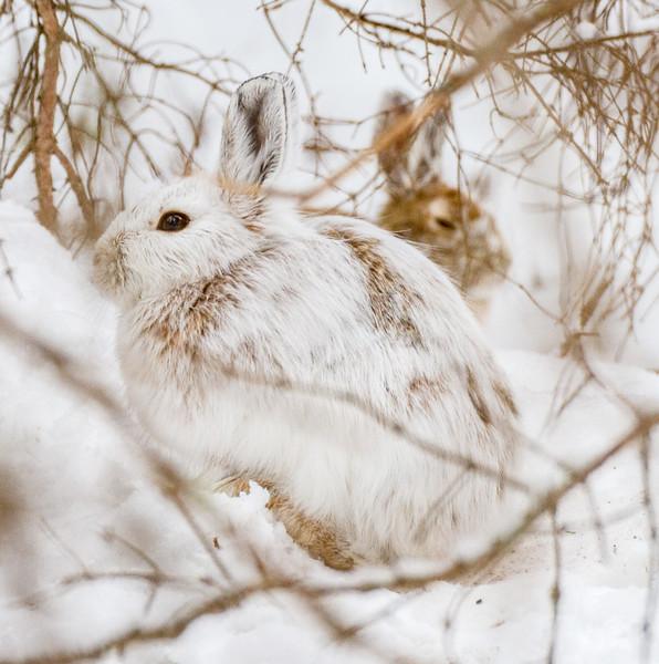 Snowshoe Hare Warren Nelson Memorial Bog Sax-Zim Bog MNIMG_0846.jpg