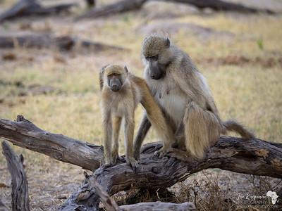 Baboon getting groomed