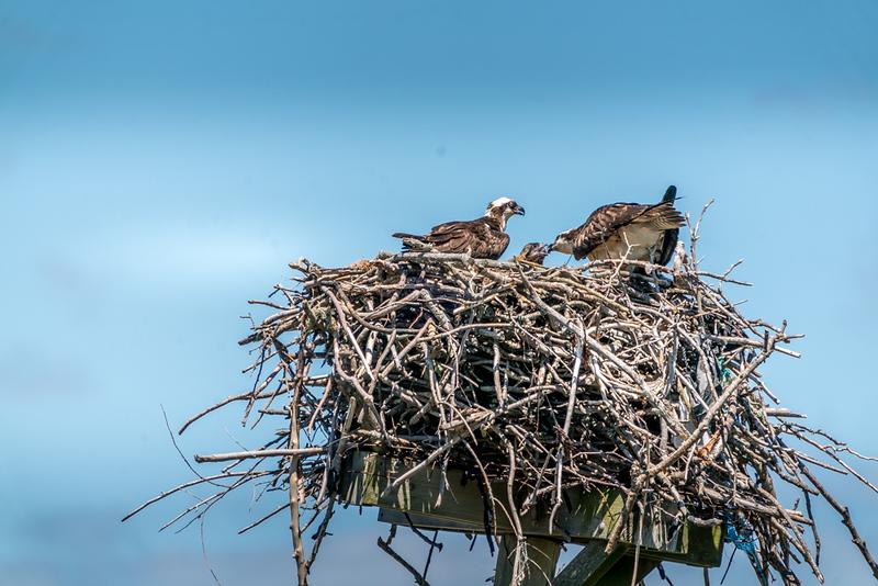 6-7-20 ospreys-10.jpg