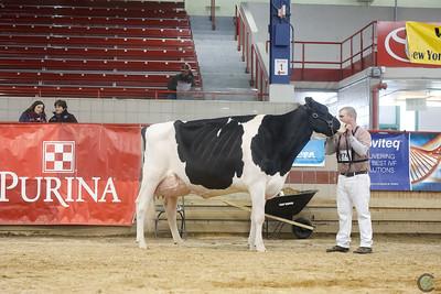 New York Holstein Senior Cows 2018