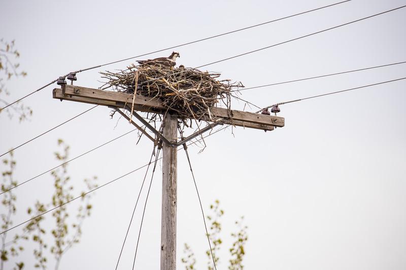 osprey nest-3239.jpg