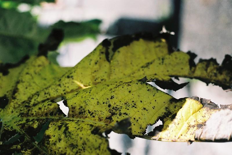 leaf_1814397364_o.jpg
