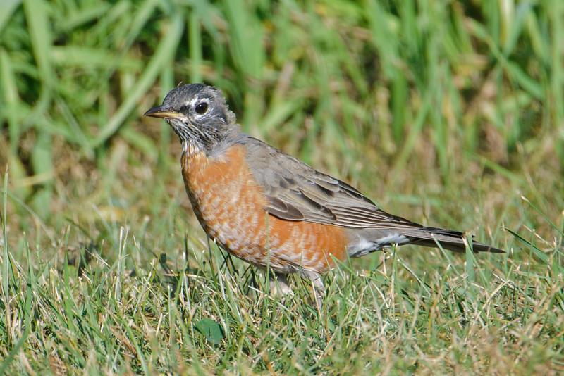 Robin - American - juvenile molting to adult plumage - Long Lake Regional Park - New Brighton, MN