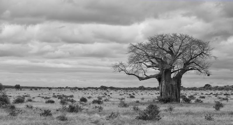 Mark-Fletcher-Baobab Tree.jpg