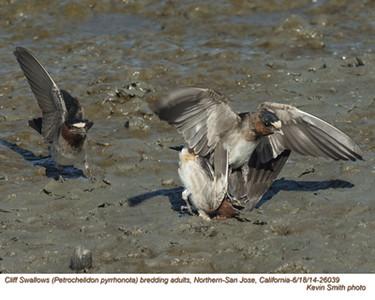 Cliff Swallows A26039.jpg