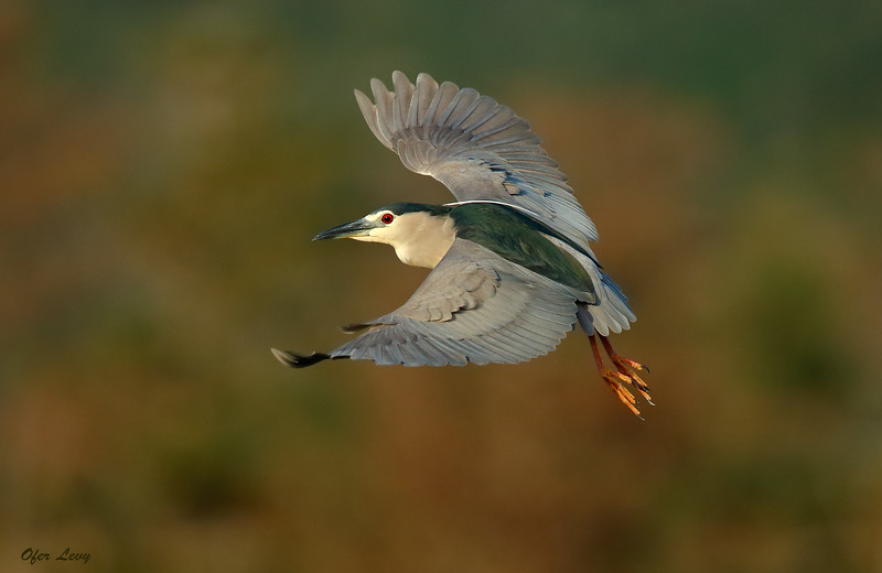 Night Heron flight.jpg