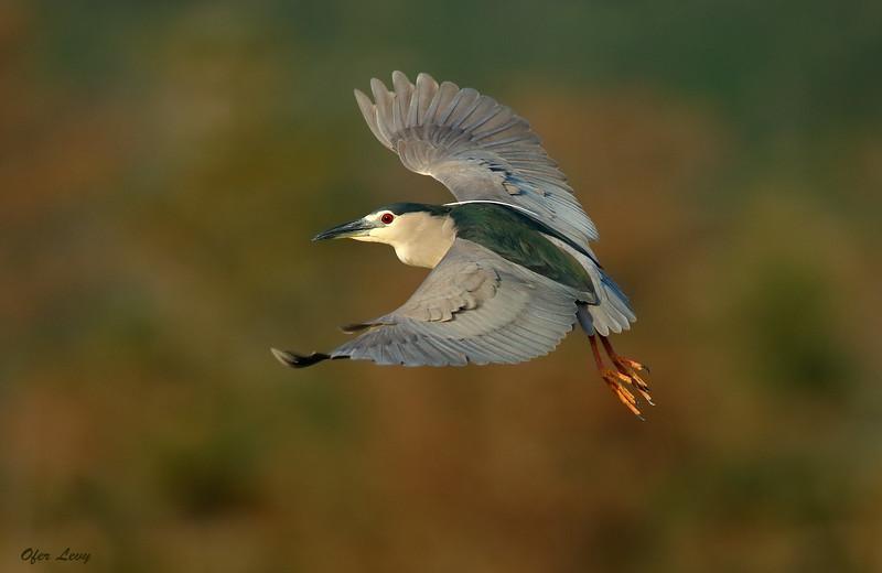 Night Heron flight.jpg