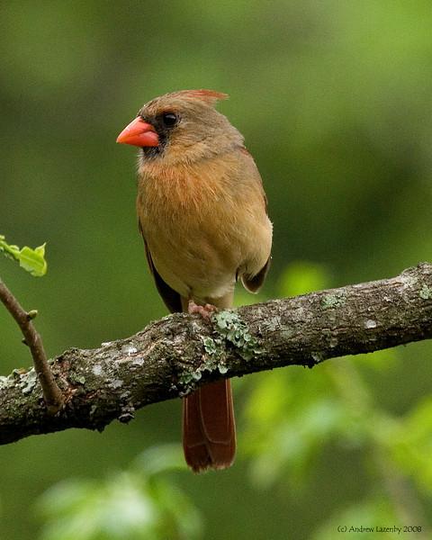 Female Cardinal.jpg