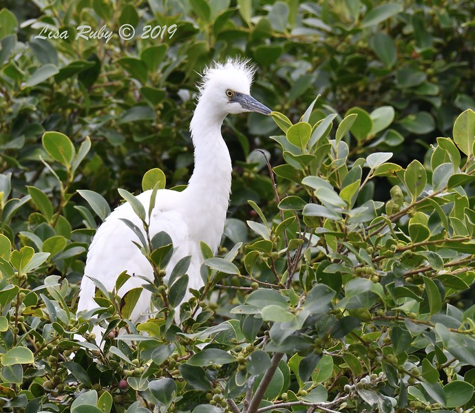 Juvenile Snowy Egret - 6/24/2019 - Imperial Beach Sports Park