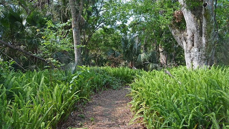 Sword fern lining footpath