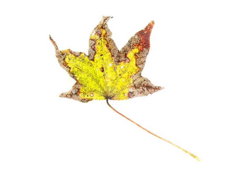 2008-11-02 leaf study 3 3681.jpg