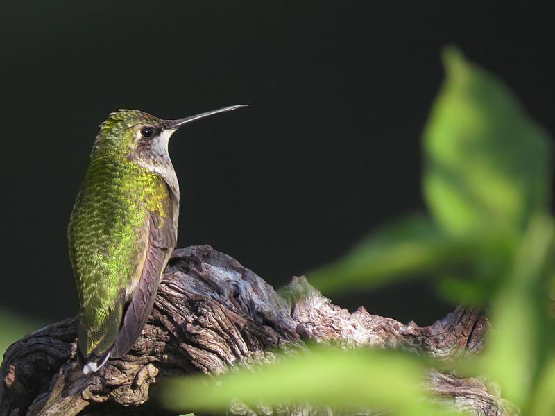 sx50_hummingbird_boas_766a.jpg
