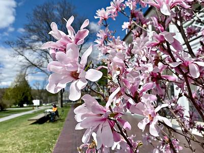 Blossoms at Bennington College - 041321