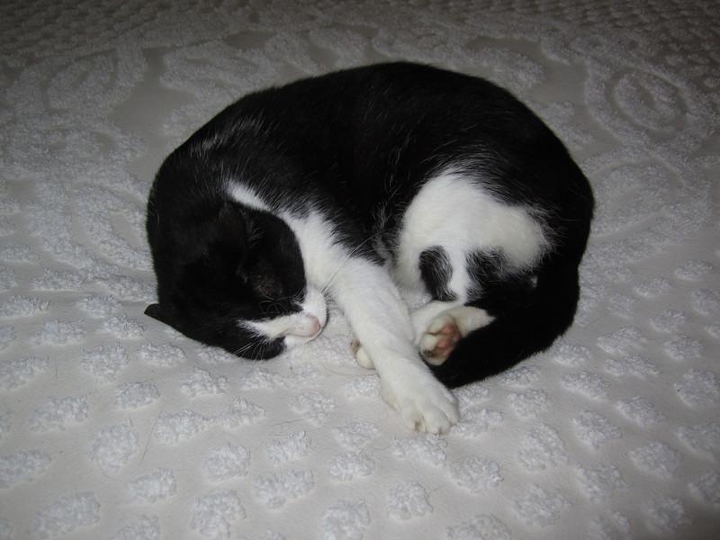 Cat at Earnest Hemingway's Home