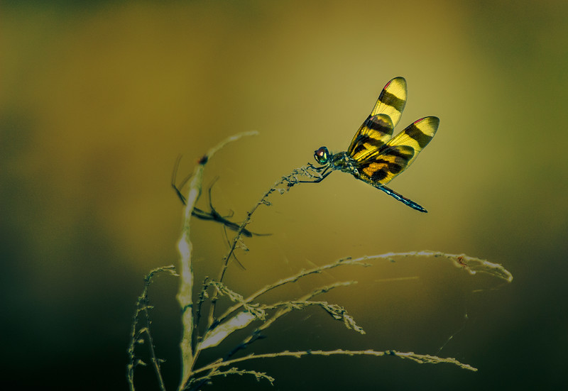 9.16.17 - Beaver Lake Nursery: Halloween Pennant Dragonfly