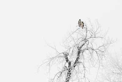 Hawk in Colorado