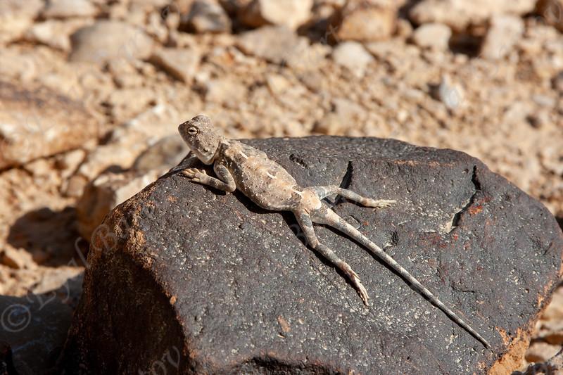 Desert Agama Trapelus pallidus חרדון מדבר