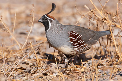 Quail, Grouse, and Ptarmigan