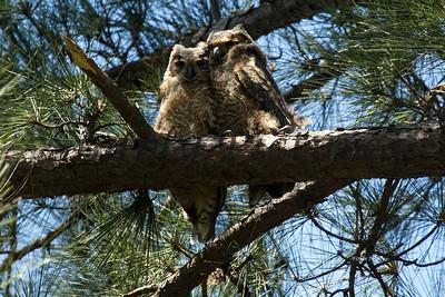 Owl  106