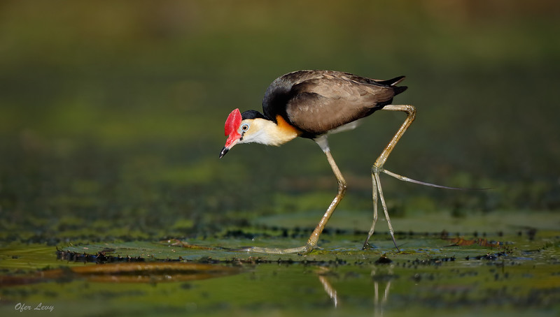 Jacana birdscape 3 MASTER.jpg