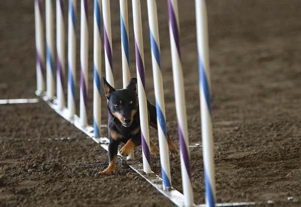 Excellent/Masters Standard Small Dogs